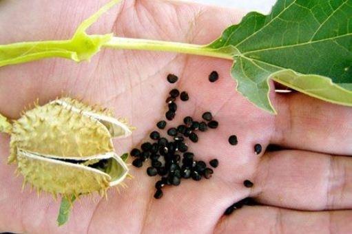 Отравление дурманом — симптомы и последствия употребления ядовитого растения