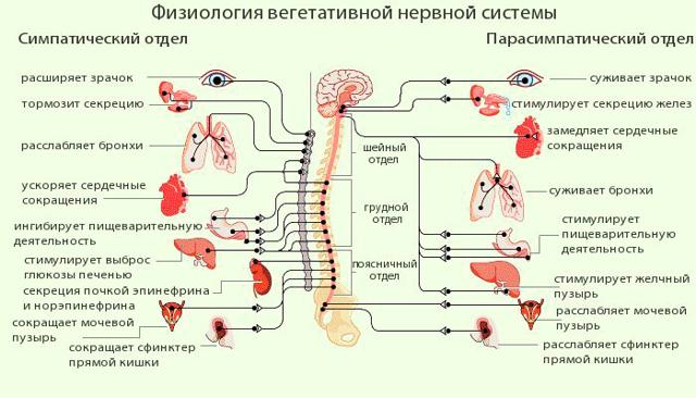 Влияние алкоголя на нервную систему человека — как влияет и воздействует спиртное на мозг и ЦНС
