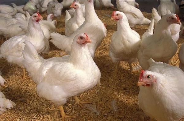 Отравление курицей – симптомы интоксикации и лечение, как понять что курица испортилась и протухла