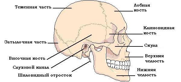 Перелом основания черепа — последствия, выживаемость и образ жизни, прогноз и реабилитация после травмы