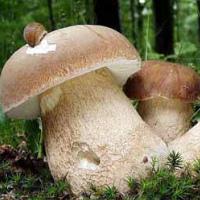 Ложные грибы (фото и описание): как отличить ложный белый гриб от съедобного и помочь при отравлении