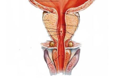 Острая задержка мочи — неотложная помощь (алгоритм действий), симптомы и причины задержки мочеиспускания у женщин, мужчин и детей